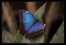 Blauer Morpho by Roland Schaad
