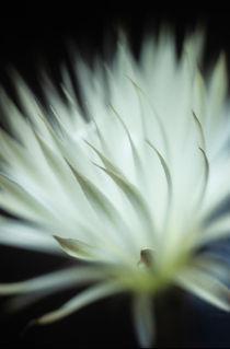 Echinopsis flower macro 1 von Alexander Kurlovich