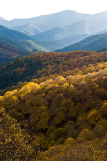 Colourful chestnut forest in the mountains von Perry  van Munster