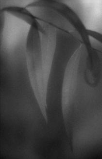 Willow leaves von Alexander Kurlovich