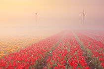 Sunrise and fog over rows of blooming tulips, The Netherlands von Sara Winter