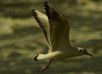 Freedom / Freiheit / Möwenflug / flying seagull von mateart