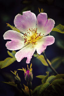 A Wild Rose von Vicki Field