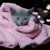 Russisch Blau Kitten / 16 by Heidi Bollich