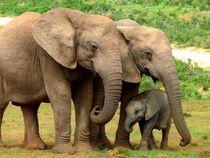 Elefantenfamilie by moyo