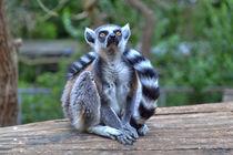 Ein Lemur in der grünen Natur by Gina Koch