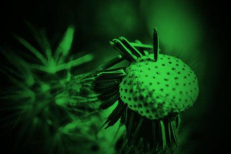 Pusteblume-2015-013-green