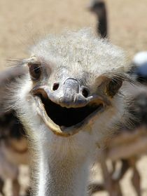 funny ostrich by moyo