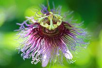 Passiflora 4 by Bernhard Kaiser