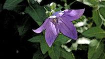 Schluesselblume2