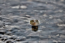 Peek a boo Leopard Frog von Amber D Hathaway Photography