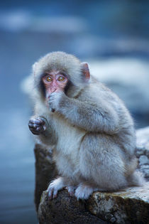 Small Japanese snow monkey at hot spring in Jigokudani Park by Sara Winter