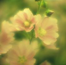 Mallow flowers von Alexander Kurlovich