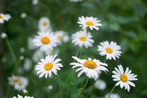 ox-eye daisy flowers  von Alexander Kurlovich