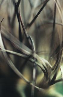 Astrophytum cactus prickles von Alexander Kurlovich