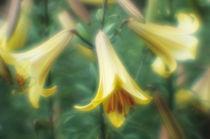 Lily flowers von Alexander Kurlovich