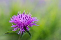 Wiesen Flockenblume by Bernd Schätzel