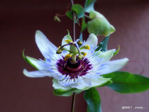 Blue Passionflower by bebra