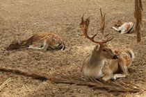 Three white tailed deer resting by Angelo DeVal
