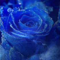 Blaue Rose by Erika Kaisersot