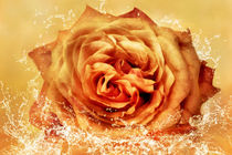 Rose im Wasser by darlya