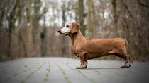 Panorama Dackel Dachshund von Caren Kluth