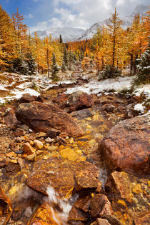 Larch trees in fall after first snow, Banff NP, Canada by Sara Winter