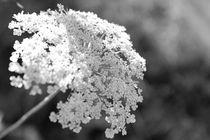 sommersonnenblütenweiß von crazyneopop