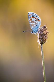 Schmetterling von anneliese-photography