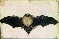Bat by Albrecht Dürer