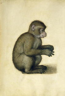 A Monkey  by Albrecht Dürer