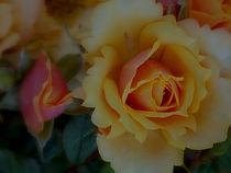 Velvet Orange Roses  von bebra