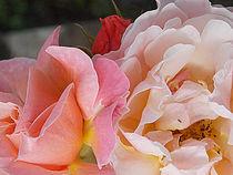 Soft Pink Rose Blossom ~ by bebra von bebra