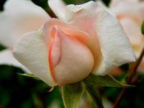 White Roses  von bebra