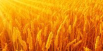 Getreidefeld von darlya