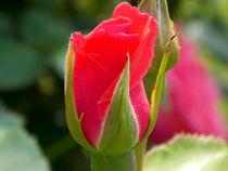 Pink Rose Flowers  by bebra