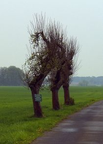 Igelbaume