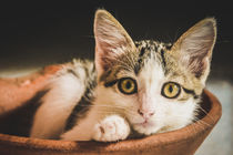 Cat in a Bowl by Lola Pellegrinetti