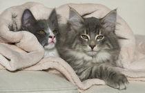 Norweger Kittens / 1 von Heidi Bollich