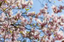Magnolienblüten by Jan Schuler