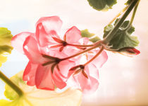 Pretty Pink Geranium in Window by dragonfire-graphics