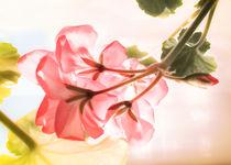 Pretty Pink Geranium in Window von dragonfire-graphics