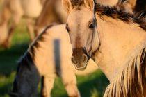 Konic horses by moyo