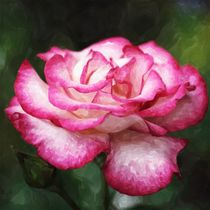 Rose weiß pink Aquarell by Christine Bässler