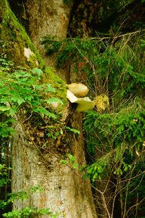 Baumpilze am Ahorn von Sabine Radtke