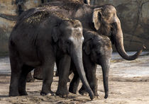 Elefanten Familie von Klaus Tetzner