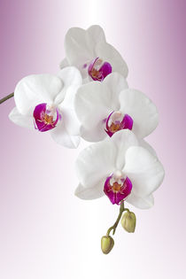 Phalaenopsis Orchidee - orchid by monarch