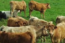 Cows on green field von Angelo DeVal