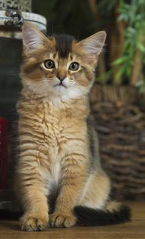 Somali Kitten / 2 von Heidi Bollich