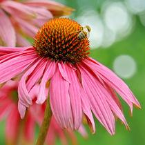 Echinacea  von Violetta Honkisz